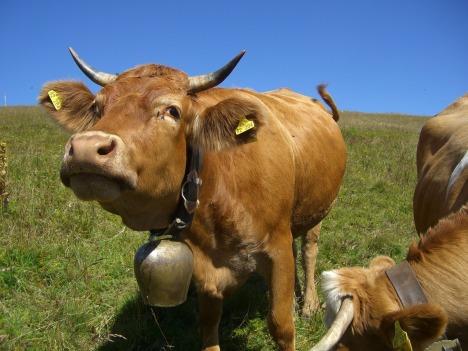 cow-245690_1920
